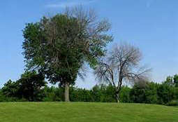 ash tree damaged and undamaged