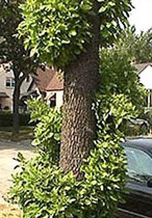 ash tree denver