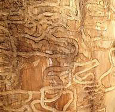 Emerald Ash Borer Infestation and Early Detection