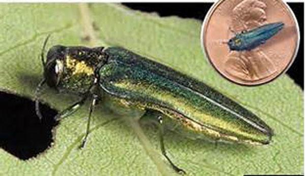 emerald ash borer size
